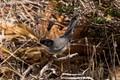 Warbler (Sardinian)