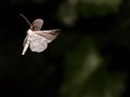 Unidentified Flying Moth