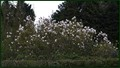 Magnolia Tree 048