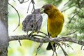 Evening Grosbeak feeding a young bird
