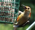 Red-bellied Woodpecker, DSC00352