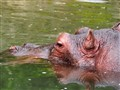 Hippopotamus at Safari Garden Indonesia
