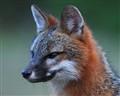 Br'er Fox