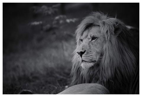 Lion Christmas -1