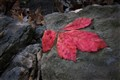 Red Leaf on a Rock