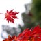 Maple leaf, National Rhododendron Gardens