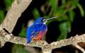 Kingfisher_6077