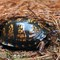 Eaastern Box Turtle: OLYMPUS DIGITAL CAMERA