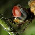 dragon fly eye