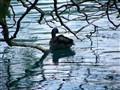 Slovenian Duck