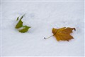 Autumn leaves in early snow