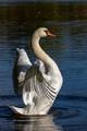 swan s-curve