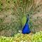Peacock in Full Glory