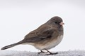 Dark-eyed Junco on sleet