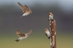 Fairy Martins