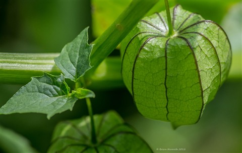 Tomatillo fruit (Physalis philadelphica - Solanaceae), a type of husk tomato, in its green, papery husk