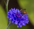 Hoverfly On Cornflower.