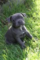 JARPPI BLUE STAFFIE
