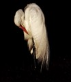 Great Egret taken at the Crew Bird Rookery Swamp