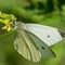 Cabbage White Butterfly  at Lake Lenexa  001  05 13 2016