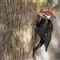 Pileated Woodpecker - Male 01