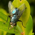 Blue Fly Drinking