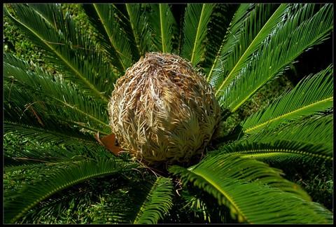 Fruto de Palmera