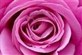 Rose Macro