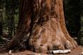 Tree trunk shaped like elephant foot