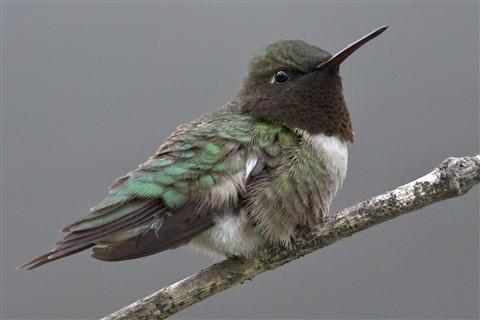 Humming Bird - 100%