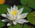 Water lily by a nice summer day