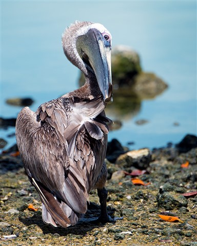 Brown Pelican Preening at Key Largo, Florida (Pelecanus occidentalis)