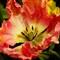 Tulip 1 80