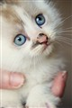 Kitten's blue eyes