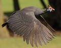 Guinea fowl in flight