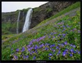 Geraniums thrive in the slopes beside the 60m waterfall of Seljalandsfoss, SW Iceland.