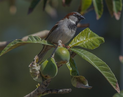 sparrow and limes -1