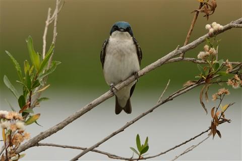 Tree Swallow DSC_0438