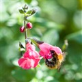 French Pink-bonneted bee