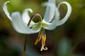 Fawn lily, Mt Doug
