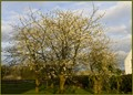 Cherry Tree in orchard