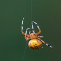 Marbled Orbweaver spinning its web