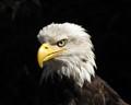 American Bald Eagle in Ketchikan Alaska