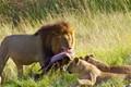 Large Male Lion Moremi Game Reserve Botswana