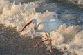 Ibis at Naples Beach