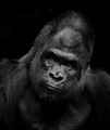 UH 3 Gorilla B&W in shadow