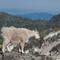 goats_landscapes-6