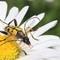 Beetle - Rutpela maculata (Black-and-Yellow Longhorn Beetle) 210702