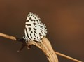 The Common Pierrot Butterfly
