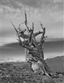 Ancient Bristlecone Pine - 3,000 years +